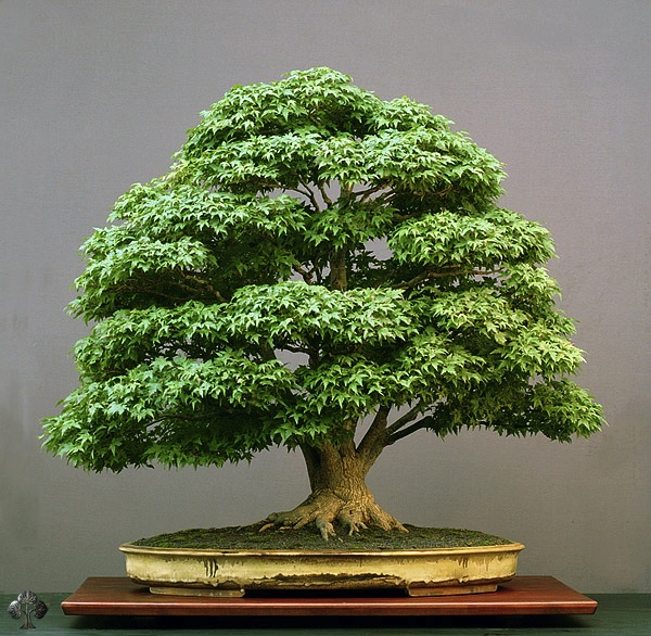 example of an acer palmatum bonsai tree bonsai tree
