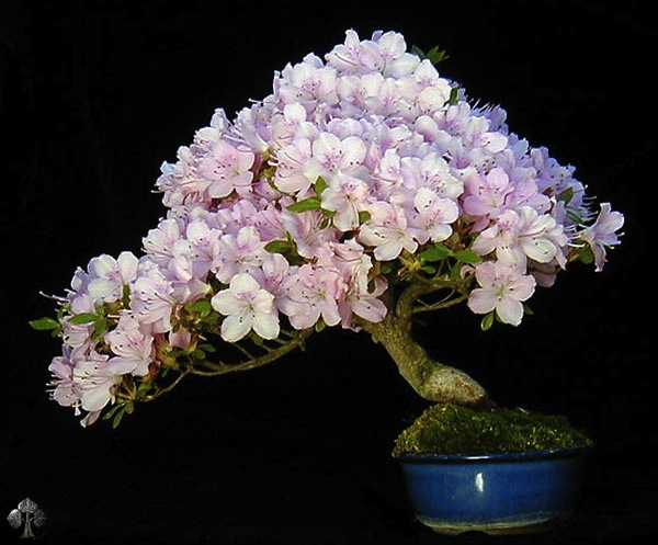 Flowering Bonsai Wolfgang Putz