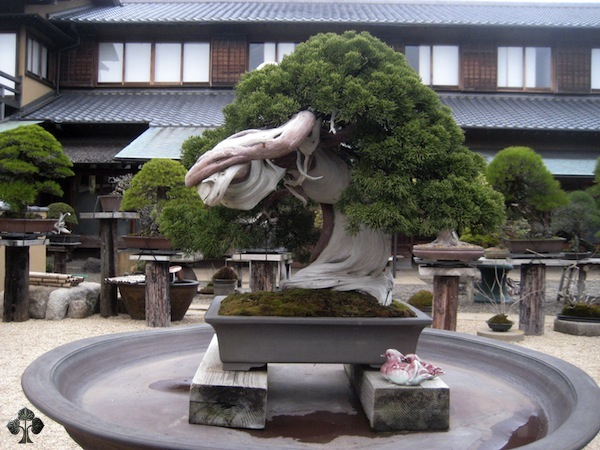 top 10 juniper bonsai trees bonsai empire