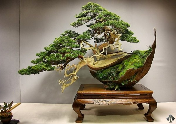 2 juniper bonsai tree by luis vila bonsai tree