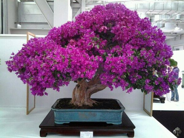 Bougainvillea bonsai in full bloom