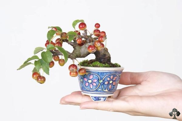 Crabapple bonsai Komiya