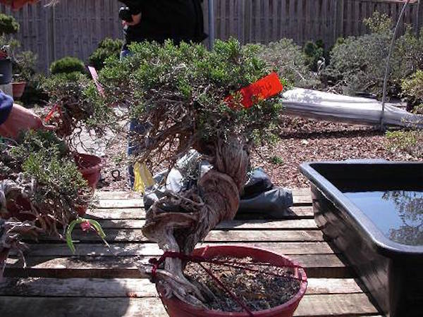Before and after shots bonsai empire for Unusual bonsai creations
