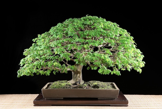 The bonsai after the styling