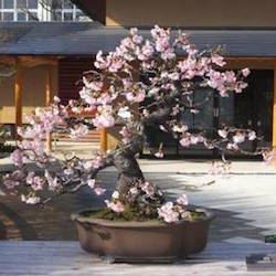 Cherry bonsai in blossom (sakura)