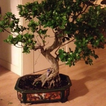 Ficus mallsai to bonsai