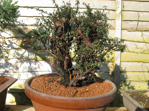 Cotoneaster in terracotta pot