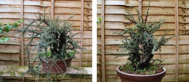Cotoneaster after first styling