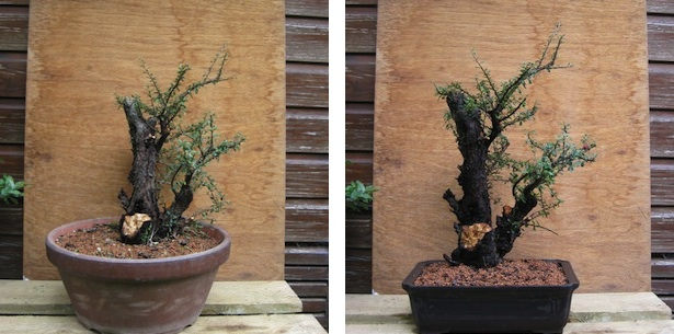 Cotoneaster before and after repotting