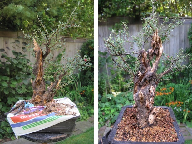 Cotoneaster after creating deadwood