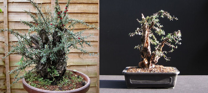 Cotoneaster before and after