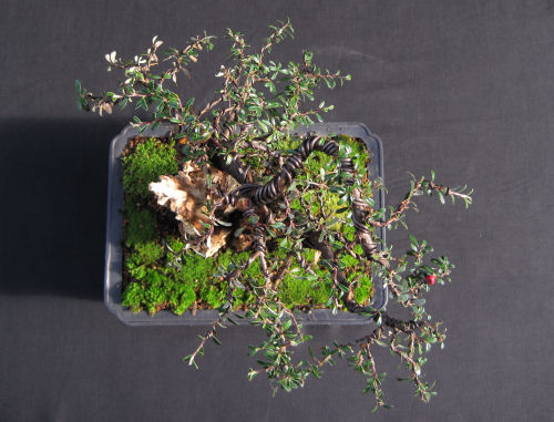 Cotoneaster from above