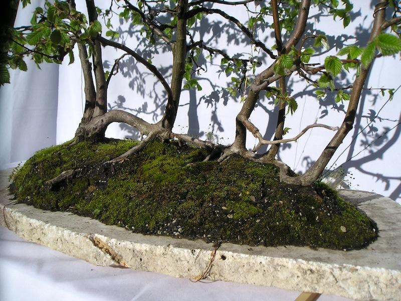 Hornbeam forest carpinus betulus in netsuranari style for Most expensive bonsai tree ever