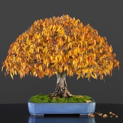 Fall colors on Bonsai trees