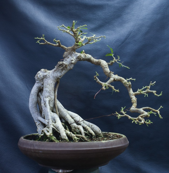 Ficus semi cascade bonsai