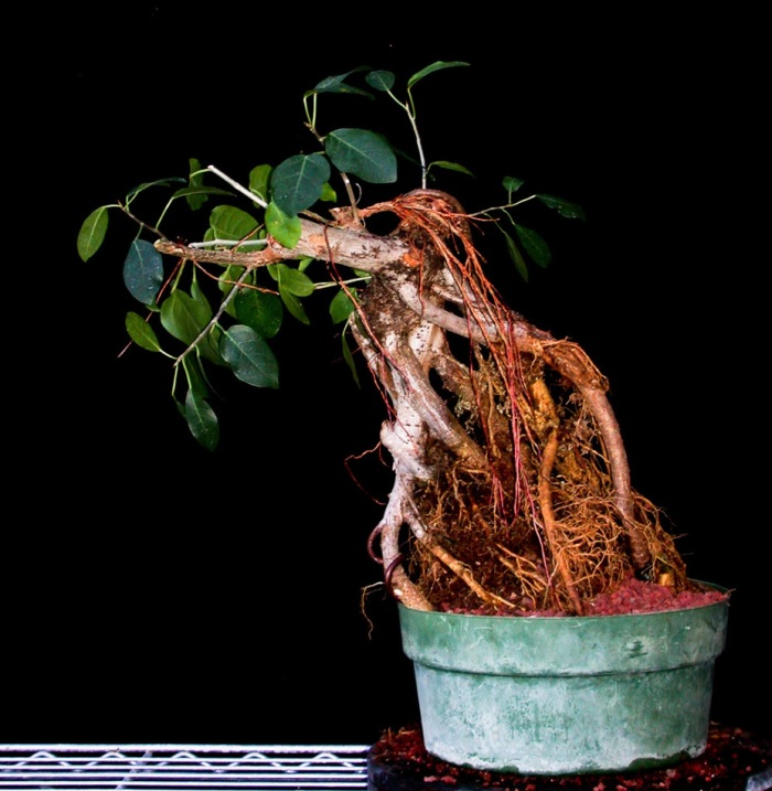 Air roots on ficus
