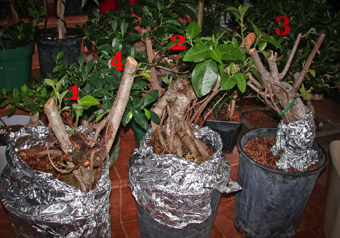 ficus nursery stock
