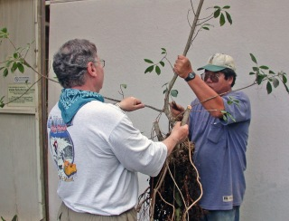 Pruning the ficus