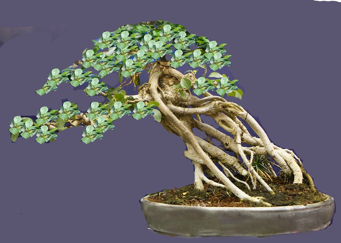 Ficus Bonsai virtual