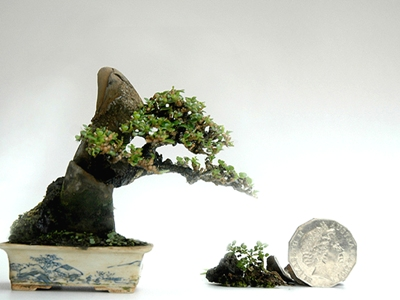 Robert Steven bonsai