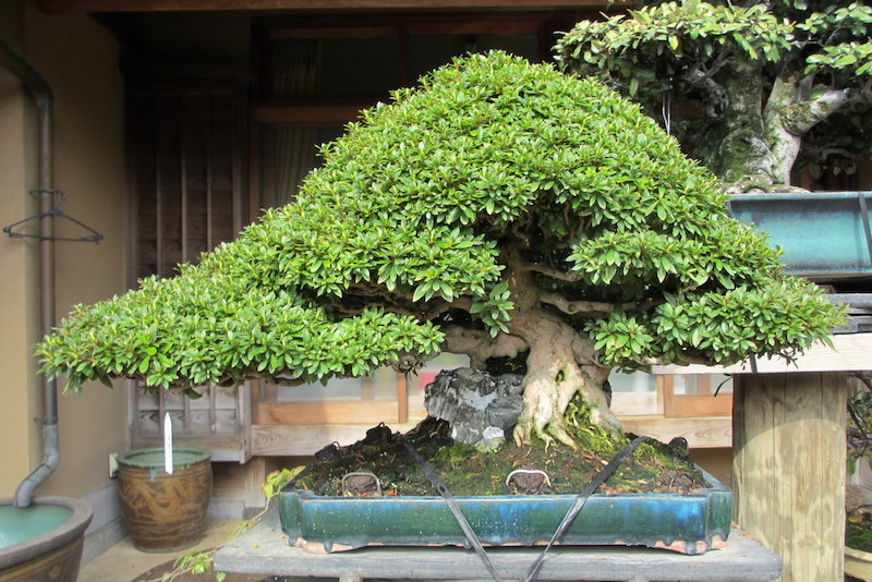 how to grow a bonsai tree over a rock