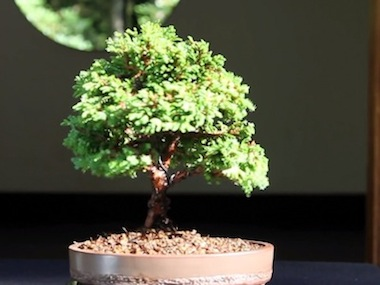 How to grow Bonsai (after)