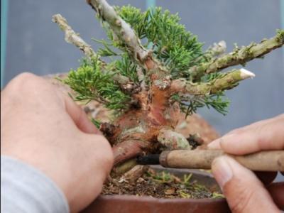 Pruning Juniper Bonsai