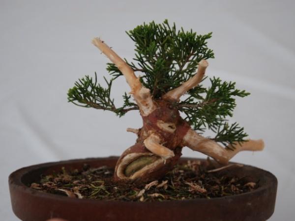 Shimpaku Juniper From Nursery Stock Bonsai Empire