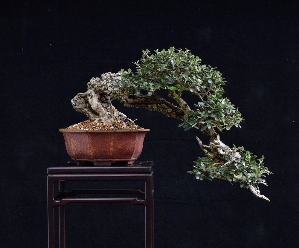 Tony Tickles Event For 2015 Bonsai Empire Wiring Yew Olive