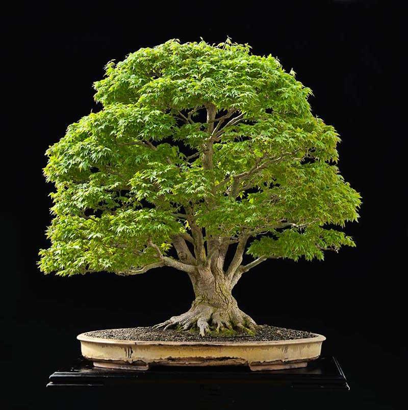 The famous japanese maple bonsai empire for Famous bonsai trees