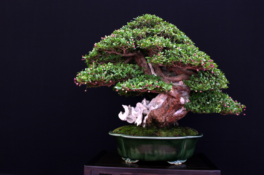 Bonsai Arbor San Antonio - Bonsai Arbor Official Website ...