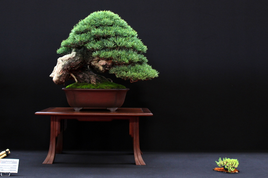 Bonsai Trees For Sale In San Antonio - cookingshop.net