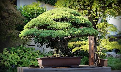 The Bonsai that survived Hiroshima