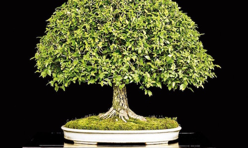 The US National Bonsai