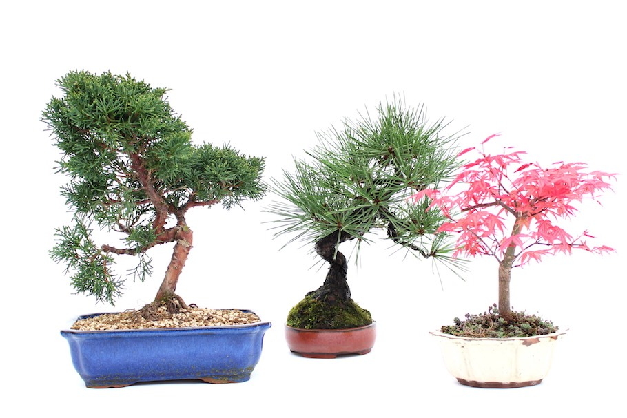 Backyard Bonsai Trees : Outdoor Bonsai trees; a Juniper, Pine tree and Japanese maple