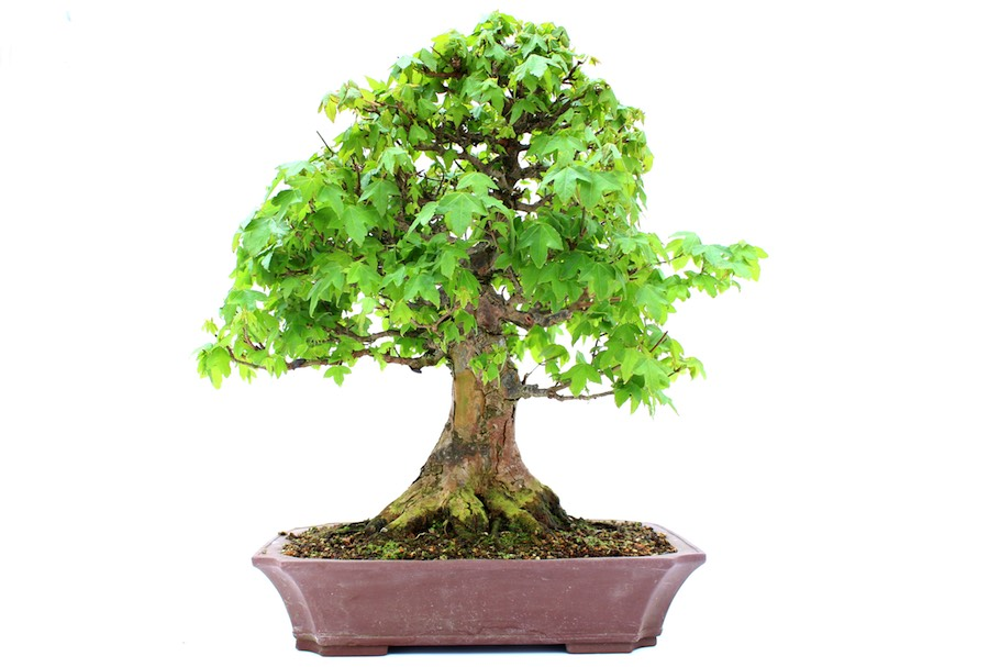 Backyard Bonsai Trees : Outdoor Bonsai tree care guidelines  Bonsai Empire