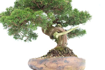 Jin example on a Bonsai tree