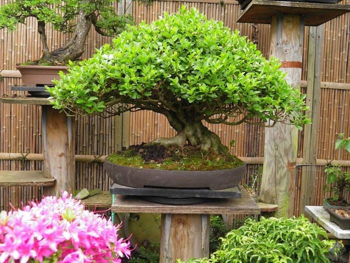 Craig coussins bonsai empire for Most expensive bonsai tree ever