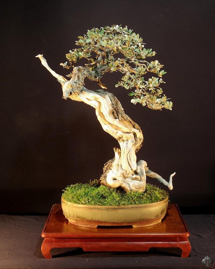 Enrique castano bonsai empire for Most expensive bonsai tree ever