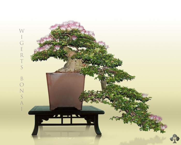 Bonsai Trees For Sale In San Antonio - bluegreenish.com