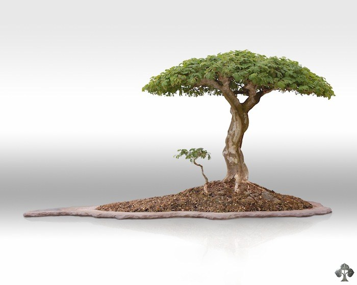 raintree bonsai