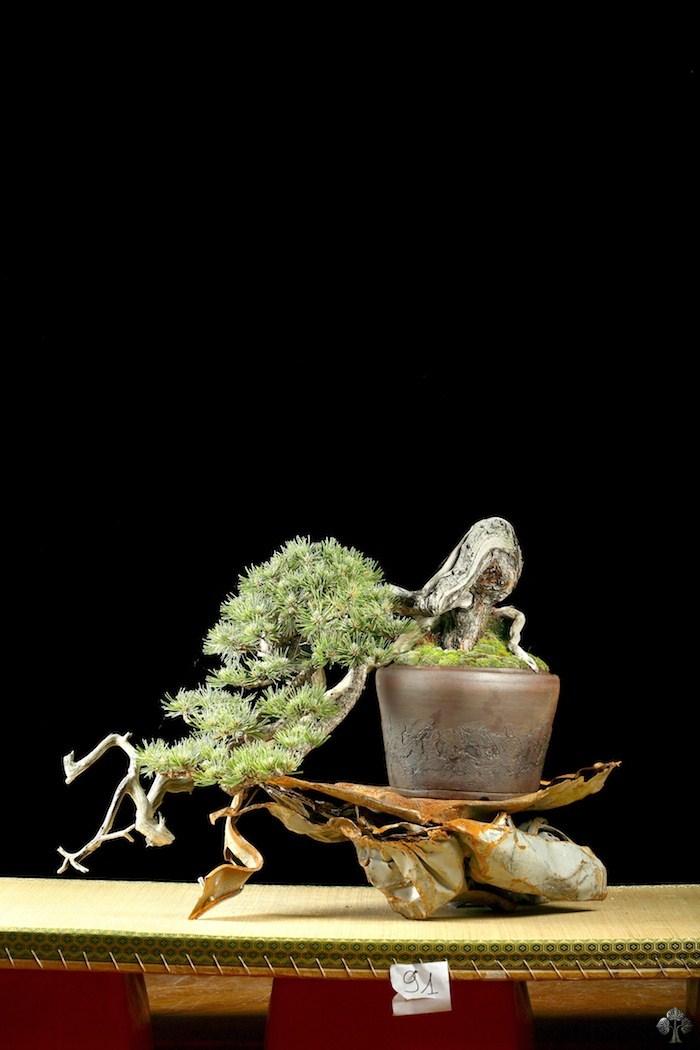 Paolo nastasi bonsai empire for Most expensive bonsai tree ever