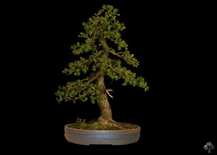 larix bonsai