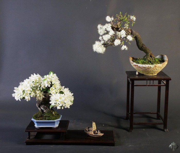 Teunis jan klein bonsai empire for Most expensive bonsai tree ever