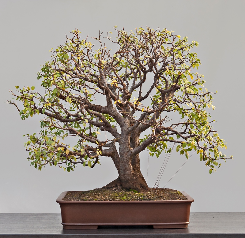 Marija hajdi and andrija zoki bonsai empire for Most expensive bonsai tree ever
