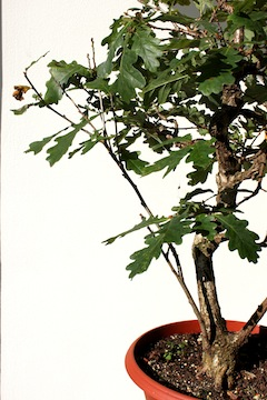 Bonsai defoliation