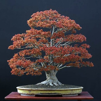 Acer bonsai tree