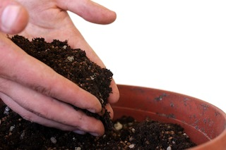 Bonsai propagation covering with soil