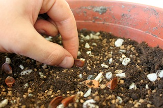 Bonsai propagation putting seeds on the seedbed
