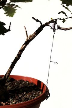 Bonsai guy-wiring a branch